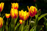 Yellow Garden Tulips