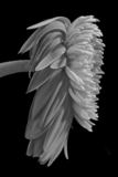 Wilted Gerbera